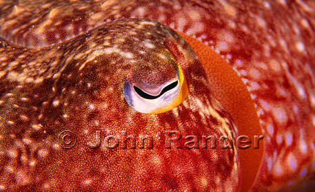 A camera shy cuttlefish blushes during a close-up shot