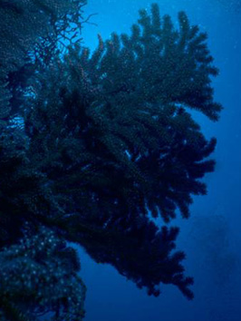 These gorgonians at 40 meter depth look blue in natural light