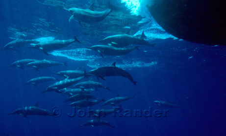 A band of long-snouted dolphins swim in front of the Febrina cruising in the Bismarck Sea, PNG