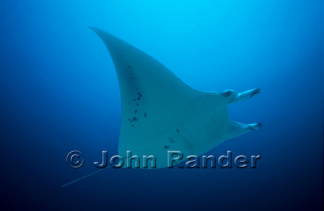 Manta ray swimming above a cleaning station in Maldives