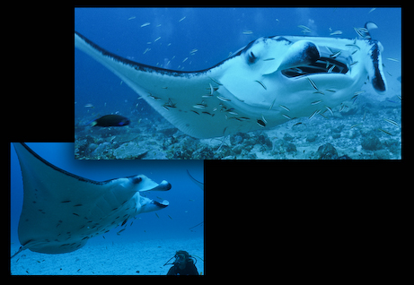 Manta rays at a cleaning station in the Maldives