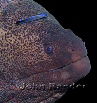 Morray eel and a cleaner wrasse